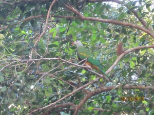 Wompoo Fruit Dove. We were indeed excited and so fortunate to see these fairly reclusive birds.