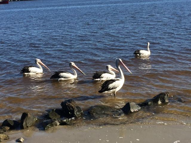 Yeah. OK I think pelicans are amazing birds. I love them.