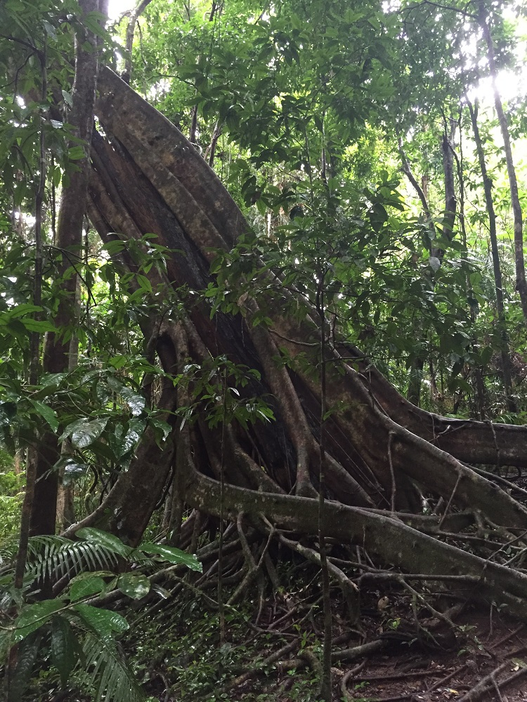 Spectacular, and very old, trees along the Mossman Gorge walk.