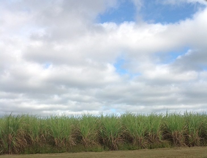 Mile after mile of canefields.
