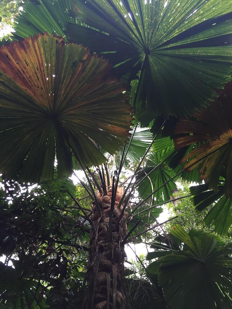 Fan palms.