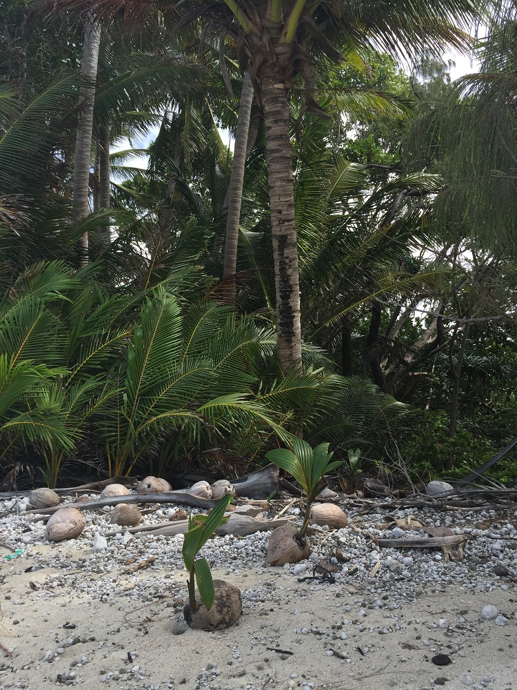 Coconut palms, expanding their domain. Chilli Beach