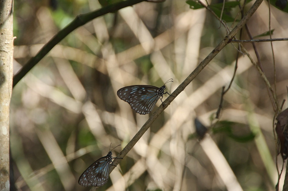 Blue tiger butterflies. There were clouds of these pretty butterflies surrounding us on our walk.