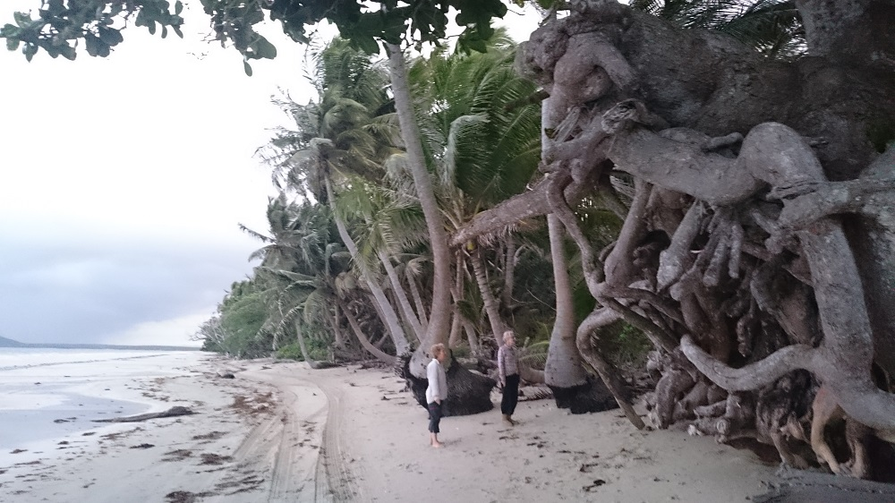 We were amazed at the size of this root system. Chilli Beach