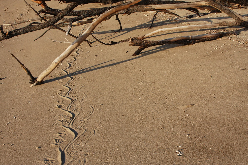 Sand goanna tracks. This was made by a pretty big old girl.