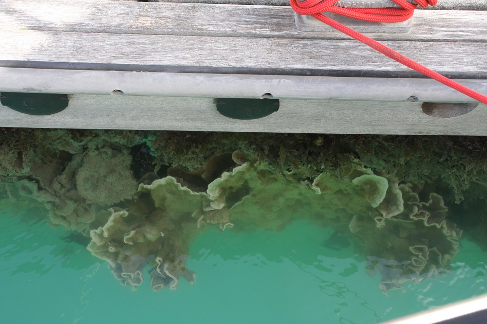 Corals growing on the pontoon, right beside the boat.