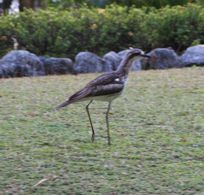 The call of these curlews, right outside our apartment, was quite eerie at night.