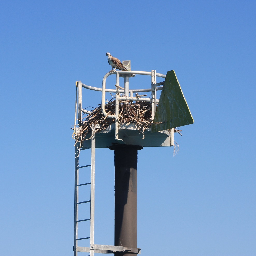 A sea eagle and her nest on the starboard beacon coming in to Macona. We could see at least 2 chicks.
