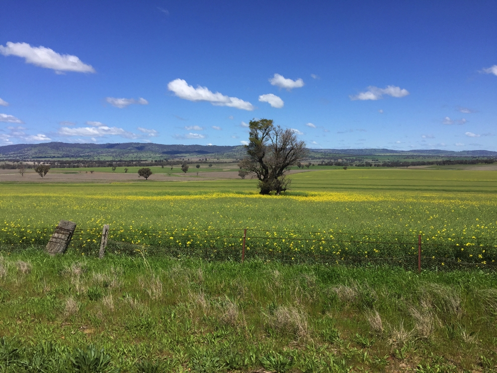 Beautiful countryside we passed in the Coolah district.