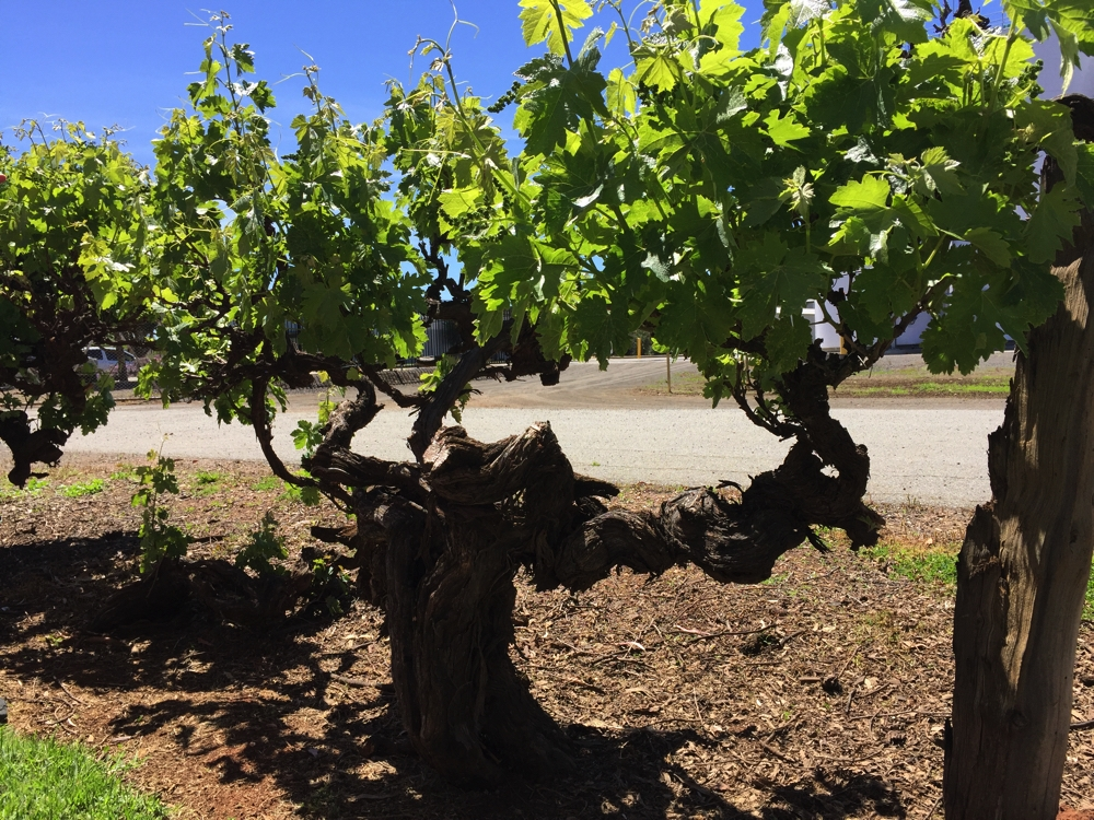 The 'hundred year old grape vines'. Amazing that these plants can live so long.
