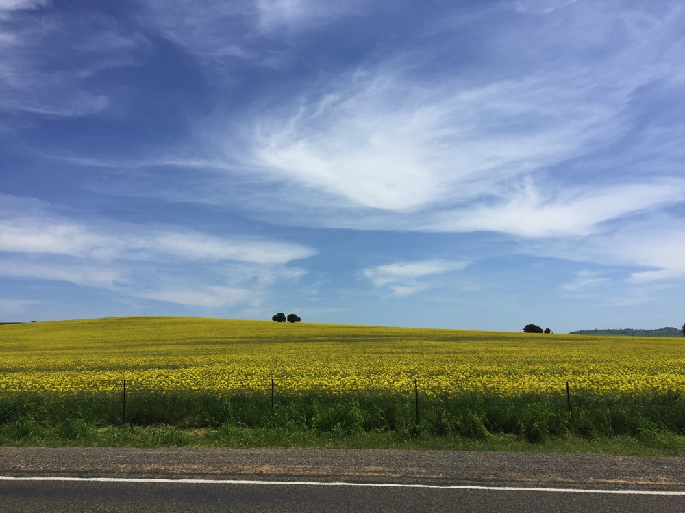 These canola fields go on forever.
