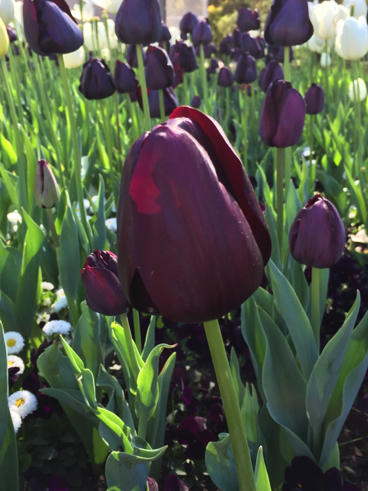 These tulips were such a deep purple they were nearly black.