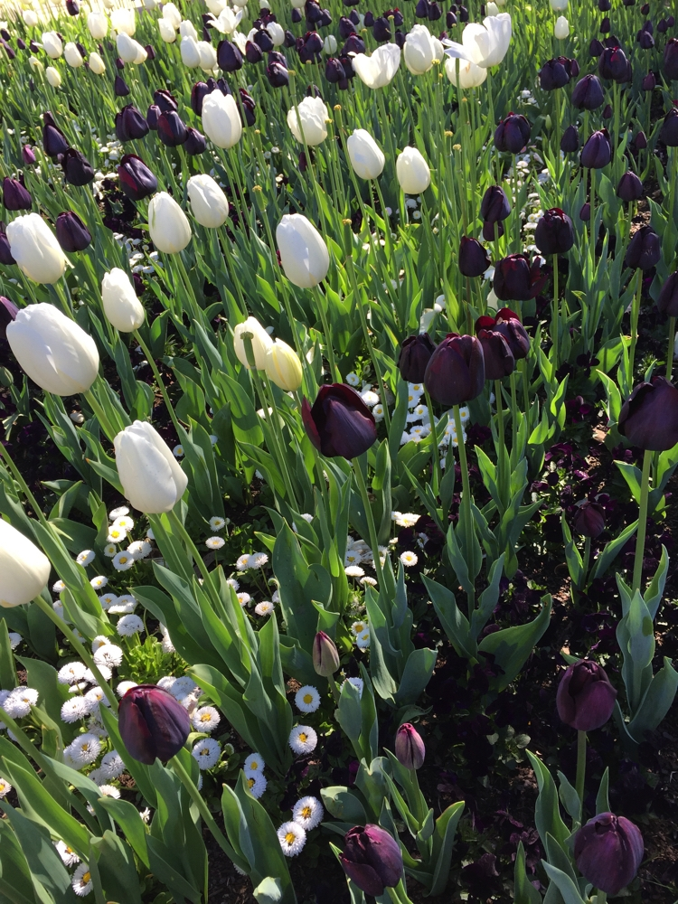 The patterns created by the tulips was supported by underplanting of similarly coloured flowers.