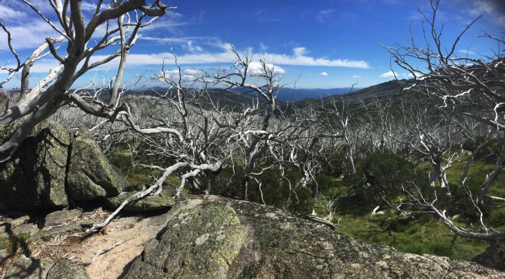 Though they're dead the Snowgums are still strikingly beautiful.