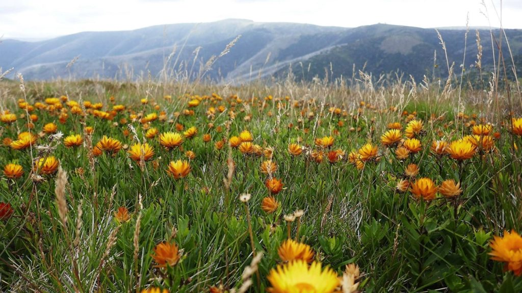 Late summer flowers on the Razorback walk. (Photo: R Jay)
