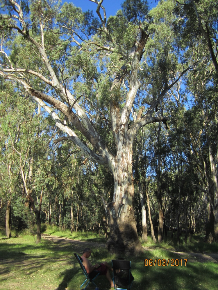The tree beside our campsite - that was home to a koala.