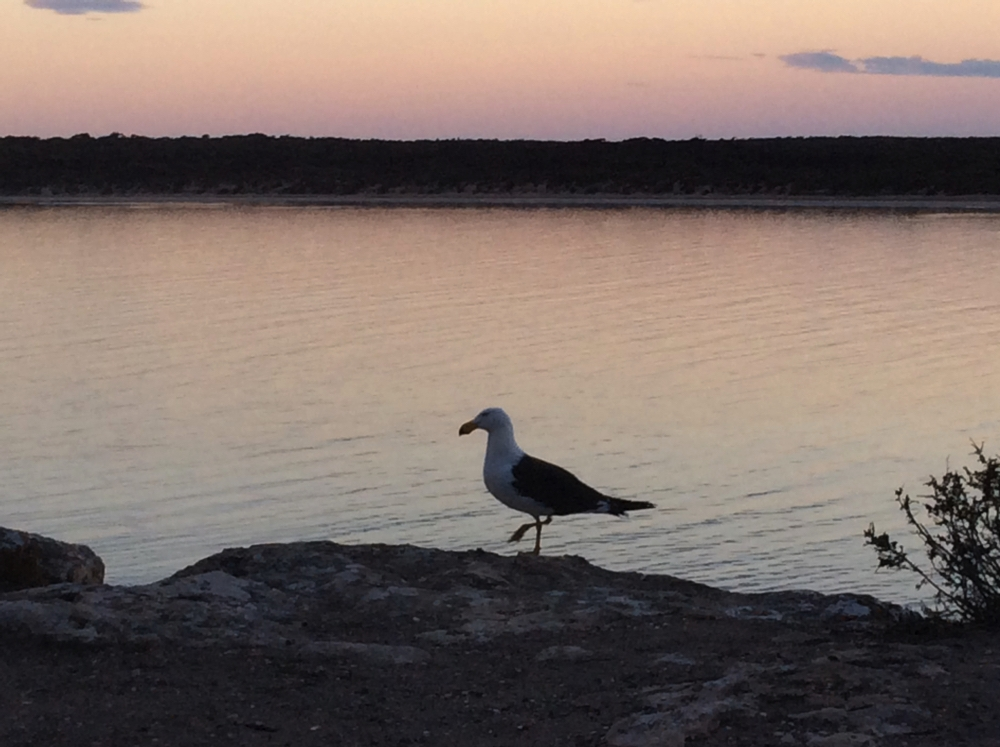Contemplating sunset at Fisherman Point campsite. This is a Pacific Gull - a much larger bird than the Silver Gulls we are used to, but smaller then the Kelp Gull that are also on this coastline.
