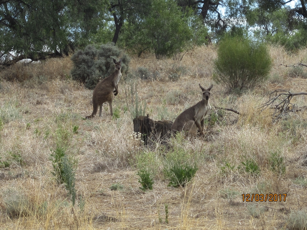 There are two types of kangaroos out here. Western Greys, which these are, and Red Kangaroos.