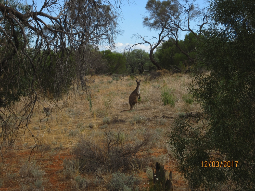 Big Western Grey kangaroo checking us out.