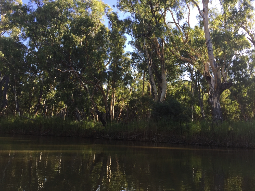 Beautiful big old River Redgums reflected in the Murray River. Barmah National Park