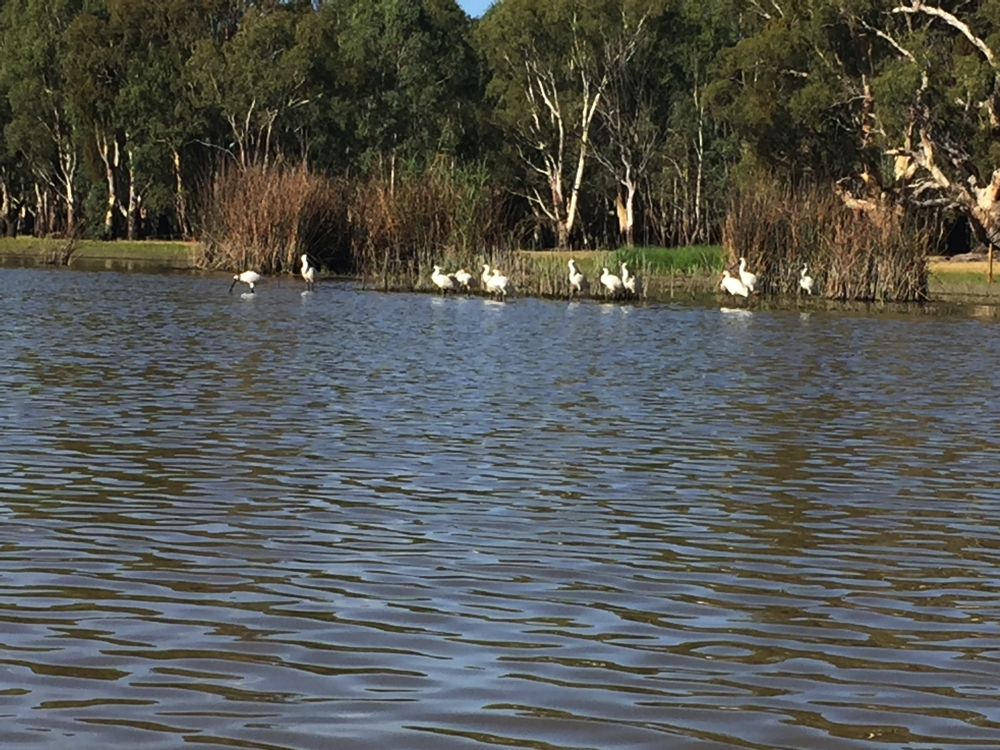A flock of spoonbills on Lake Barmah - not flustered at all by our presence in the kayak.