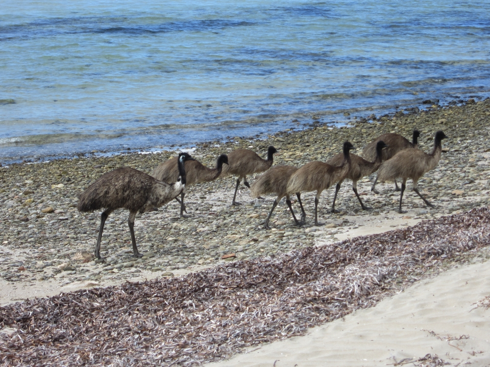A family of emus on the beach at Surfleet Cove. Dad at the back and 7 adolescents in front.