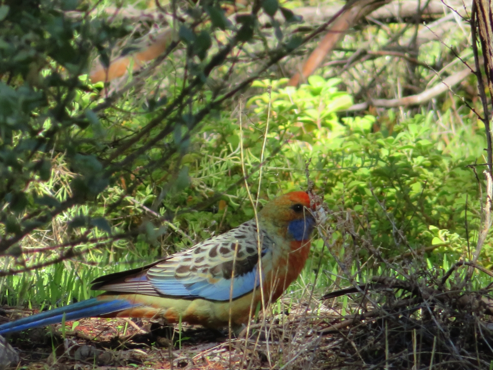 An Adelaide rosella (yes, that is it's official name). Beautiful.