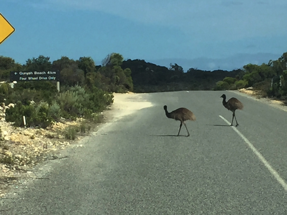 These pedestrians were in no hurry to cross the road - we waited patiently. They know what it means to live in a National Park, at Coffin Bay.