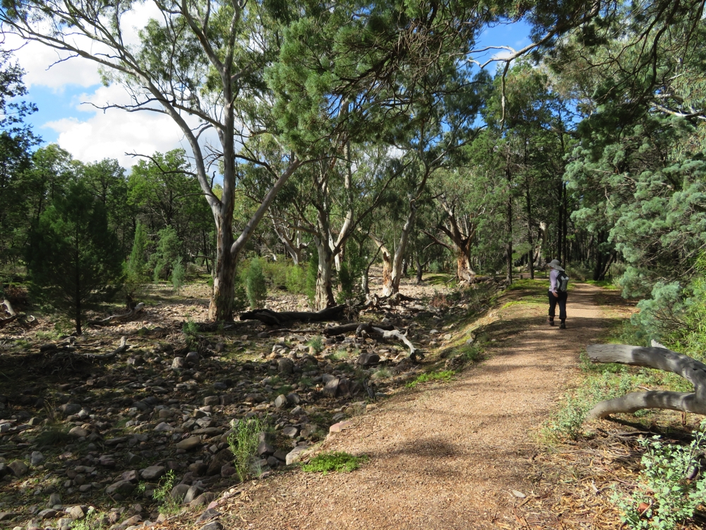 The beautiful river red gums grow in the creek bed. A very pretty walk.