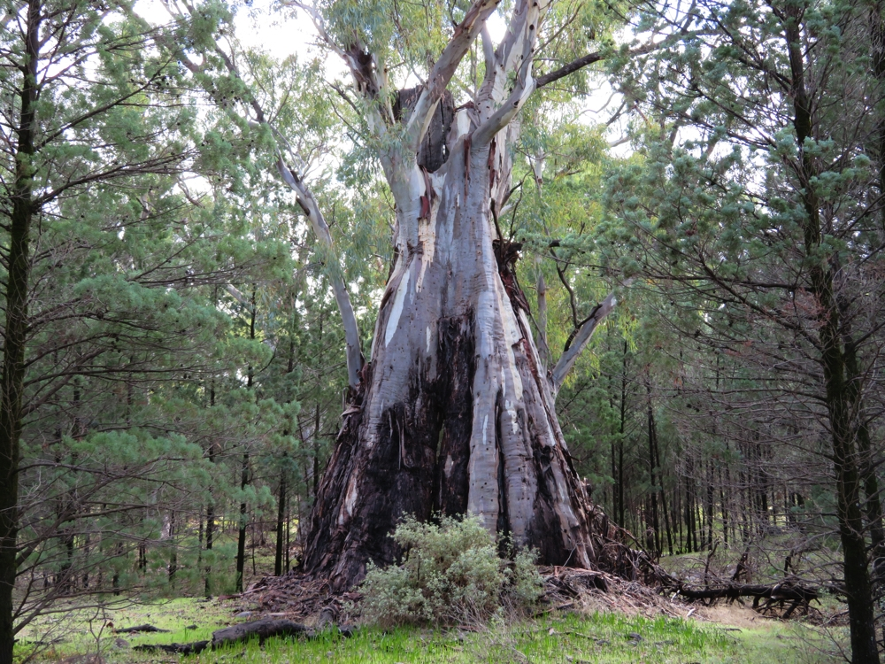 The river red gums are pretty amazing trees.