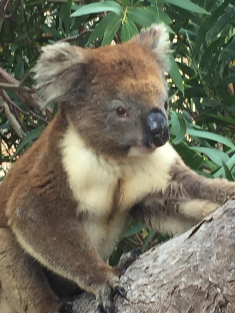 Mikkira_koala12