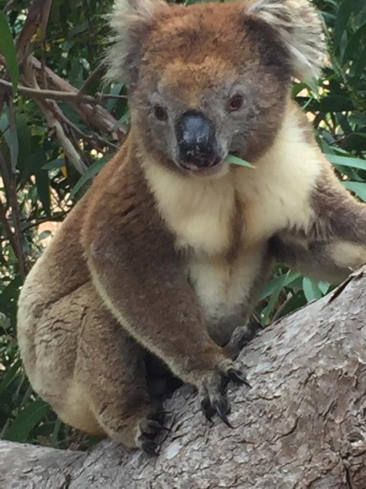 Mikkira_koala16