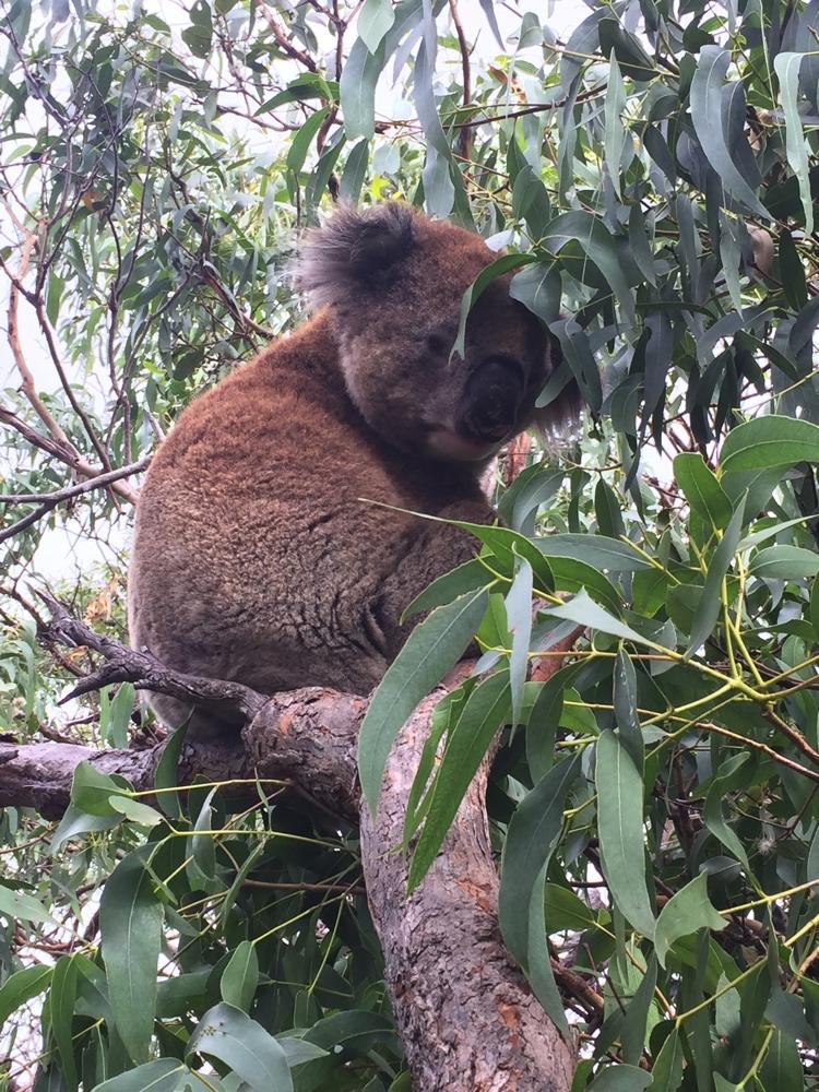 Mikkira_koala25