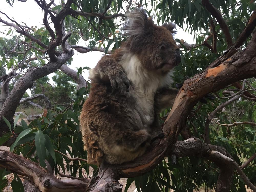 Mikkira_koala7