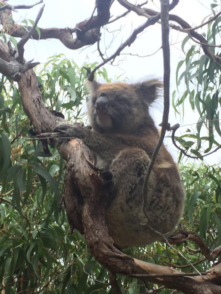 Mikkira_koala9