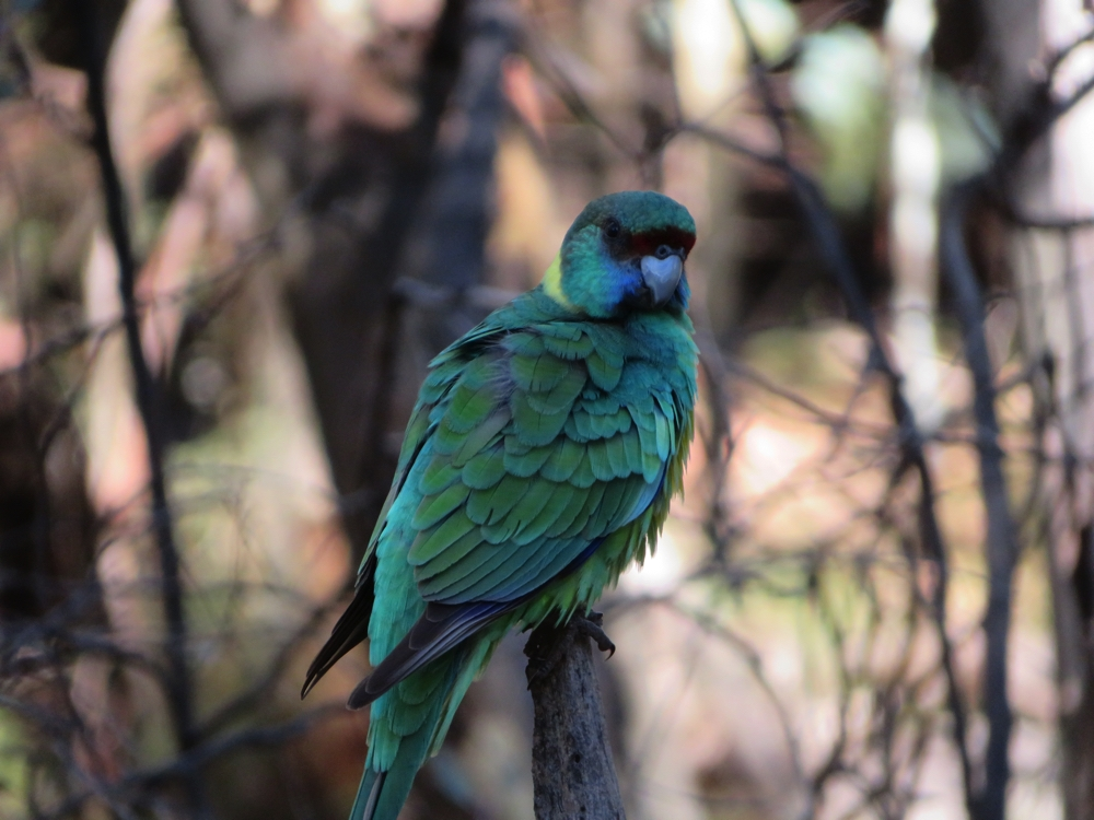 An Australian Ringneck Parrot, Port Lincoln variety. Lots of them all around Wilpena Pound.
