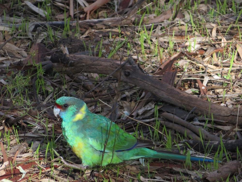 Wilpena Pound_parrot4