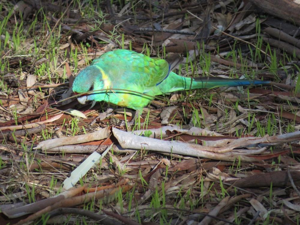 Wilpena Pound_parrot5