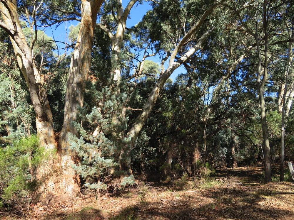 The river red gums, interspersed with cypress pines. These are growing along the Wilpena Creek, inside the Pound.