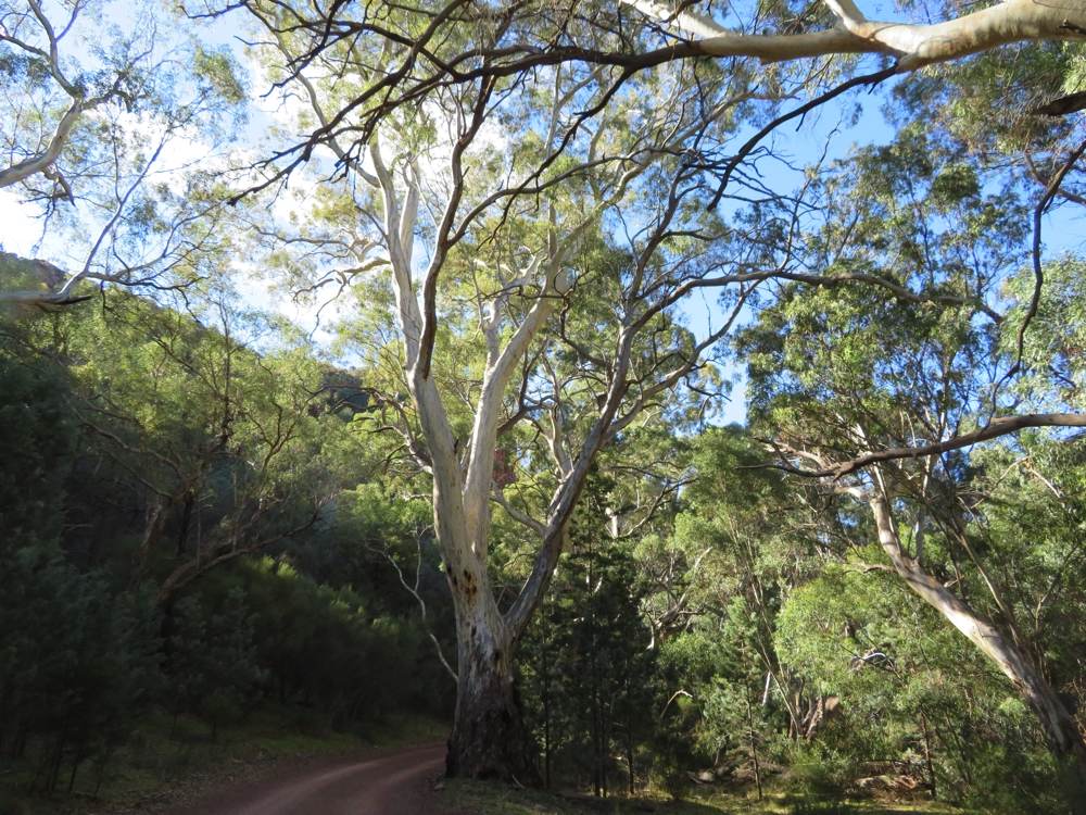 River red gums. Wilpena Pound.