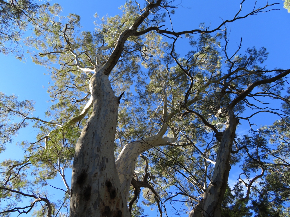 The majestic river red gum.