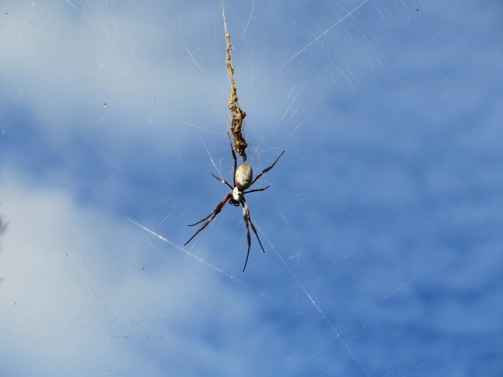 The Golden silk orb weaver spider. Lots of these around the Ranges.