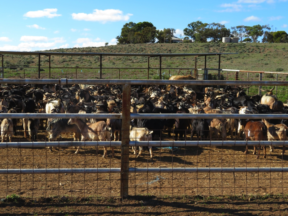 Feral goats, penned and ready for transport to the sales yards.