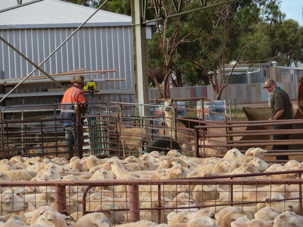 Sorting the sheep by weight - ready for sale tomorrow. Note the watchful eye of the alpaca. Beltana Station.