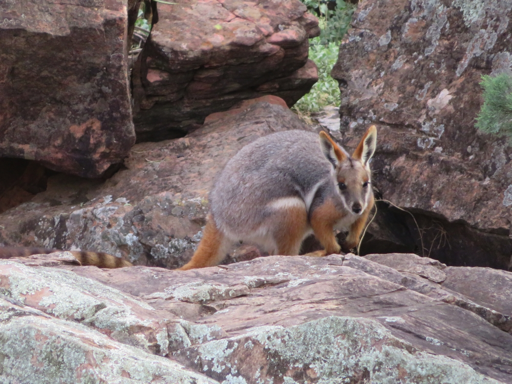 The yellow-footed rock wallaby. Some 25 years ago this was an endangered species. It's still not out of danger but due to intensive culling of feral (foxes, rabbits, cats) and protection from humans the species is recovering. Brachina Gorge.