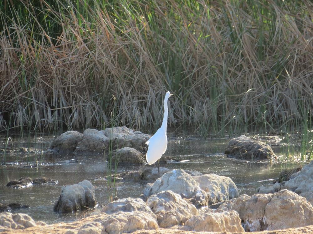 Wading bird in the Finke River.