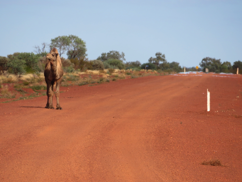 A male camel on the road.