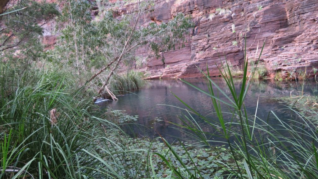 Bulrushes and water plants keep the icy water sparklingly clear. Dales Gorge.