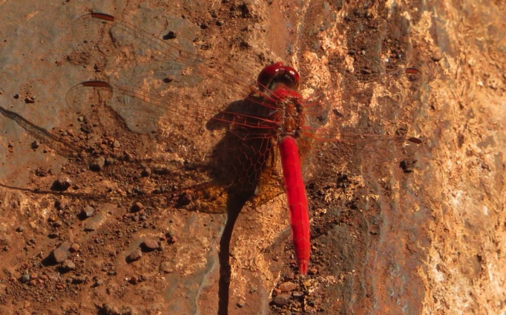 A dragonfly. Red, like everything else in the Pilbara.