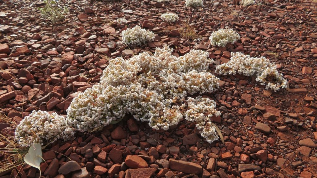 Wildflowers can grow just anywhere. Dales Gorge, Karijini.